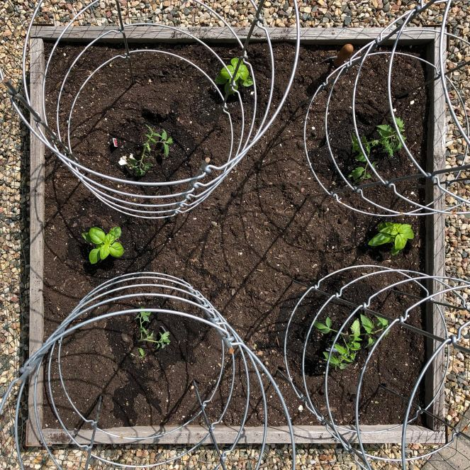 4 tomato plants and 3 basil plants in square foot garden