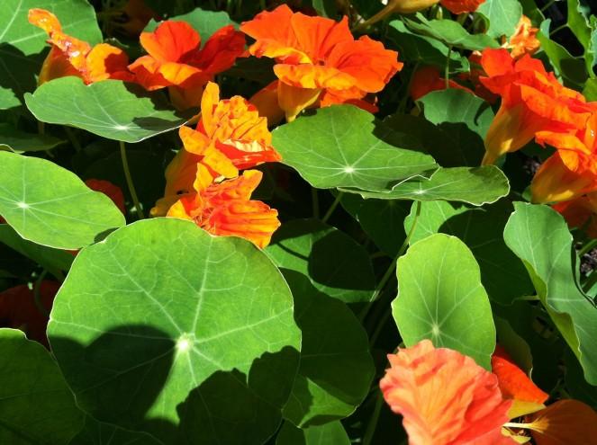 orange nasturtium blossoms and green leaves