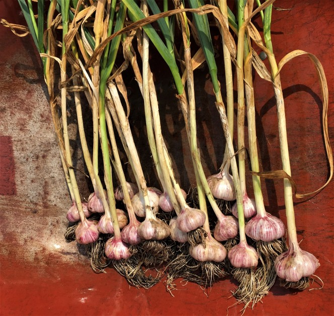 a large bunch of fresh garlic bulbs with roots and stems on a red metal background