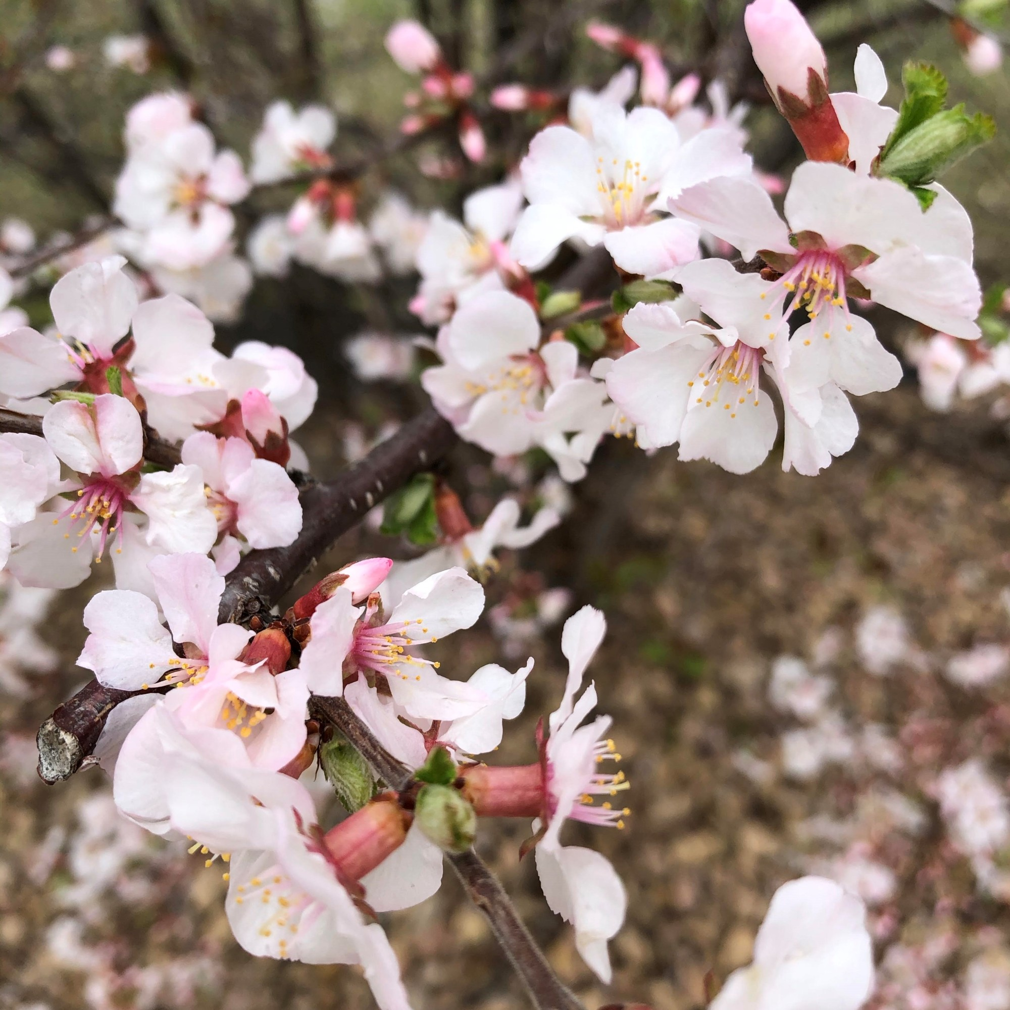light pink and white apple blossoms